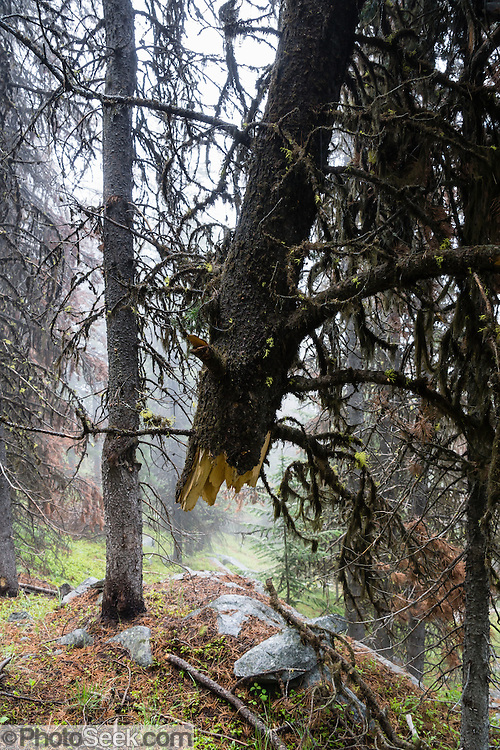A fractured tree hangs suspended in the air along Wapaloosie Mountain Trail, in Colville National Forest, Kettle Range, Washington, USA