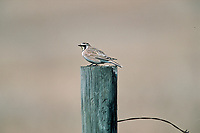 Horned Lark (Eremolis alpestris), on fence post, East of Calgary, Alberta, Canada   Photo: Peter Llewellyn