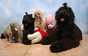 2 Black Russian Terrier and one Apricot Miniature Poodle sitting facing camera. with stuffed toys Property release available.