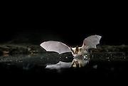 Western Long-Eared Myotis (Myotis evotis) drinking from a small pond in the high desert of Eastern Oregon. September 2001.