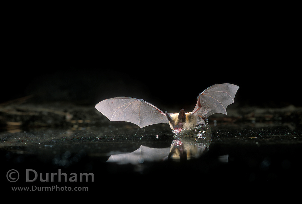 Western Long-Eared Myotis (Myotis evotis) drinking from a small pond in the high desert of Eastern Oregon. September 2001.