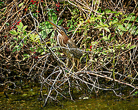 American Bittern in the bushes across the Pond. Image taken with a Nikon D3s camera and 80-400 mm VRII lens