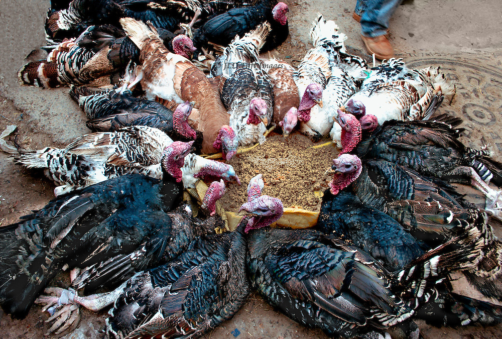 Turkeys tied in a circle around a pile of grain from which they eat.  They are on the ground in a Moroccan village market.