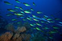 Schooling Sleek Unicornfishes..Shot In Indonesia