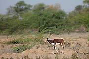 Blackbuck male antelope, Antilope cervicapra, near Rohet in Rajasthan, North West India
