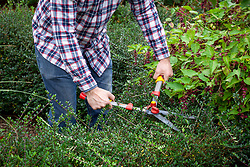 Trimming a low evergreen hedge - Lonicera nitida - using hand shears