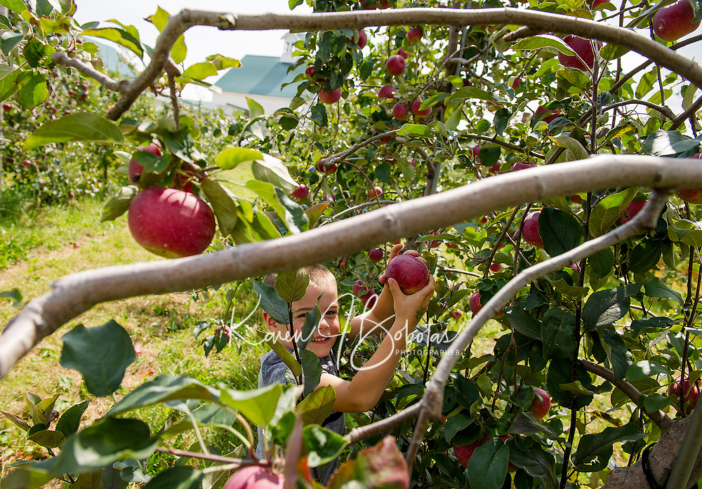 Surowiec Farm in Sanbornton - apple picking.  Karen Bobotas for the Laconia Daily Sun