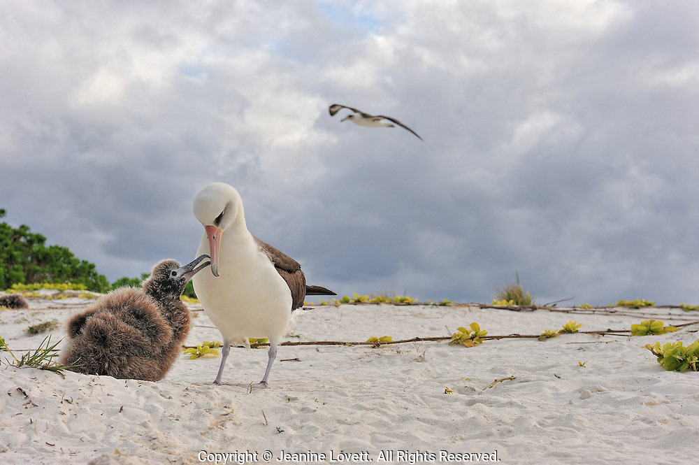 laysan albatross chick begs parent for food