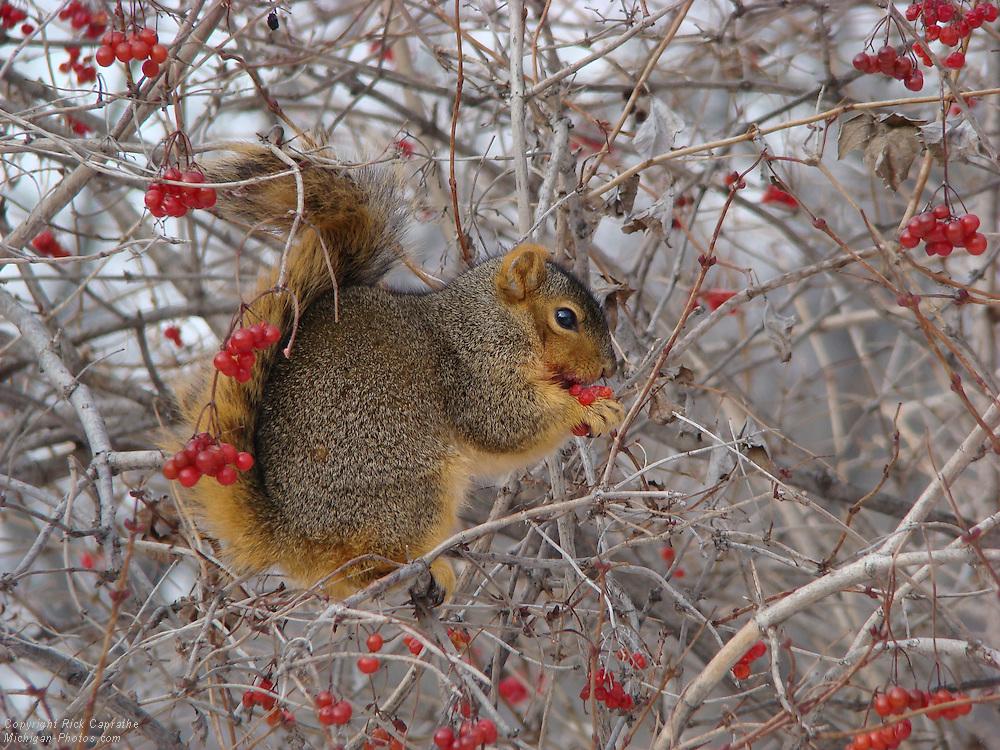 Squirrel Eating Ornamental Cherries