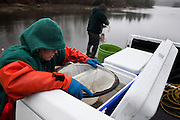 Suzanne Smith prepares the elvers she caught overnight for sale while her partner John Taylor tends to their nets in Pemaquid, Maine on Thursday, March 29, 2012.  Craig Dilger for The New York Times