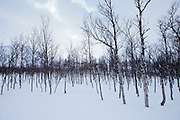Downy Birch trees, Betula pubescens, in wilderness in Ovre Dividal National Park in the Arctic Circle region of Tromso, Northern Norway