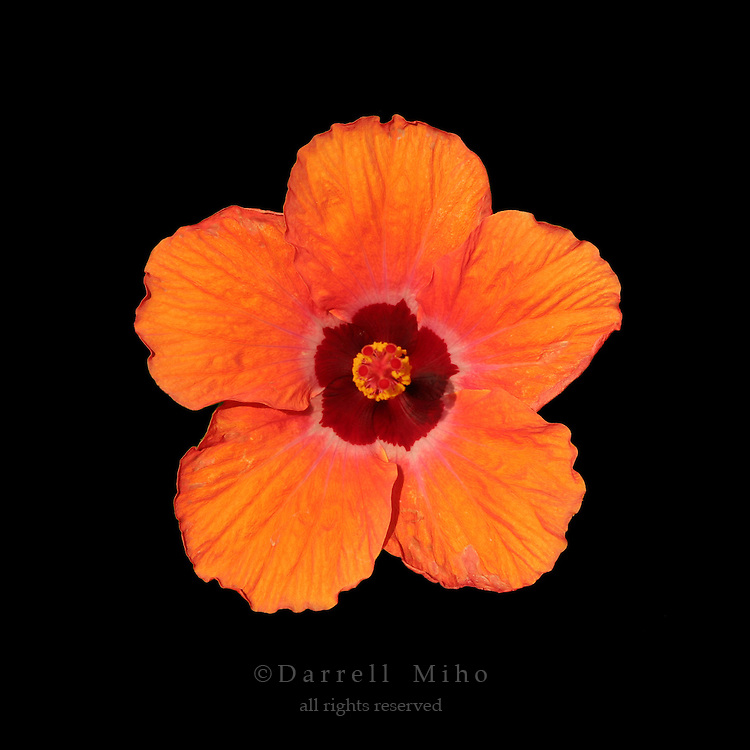 Orange and red hibiscus flower on black background.<br /> <br /> &copy; Darrell Miho