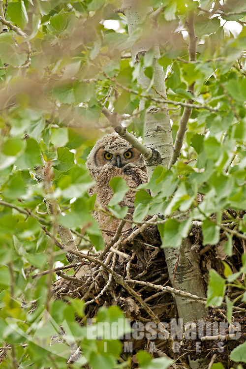 A young Great Horned Owlet peeks over the side of its nest inspecting its new world.