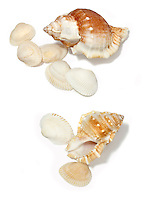 sea shell collection orange and white shells