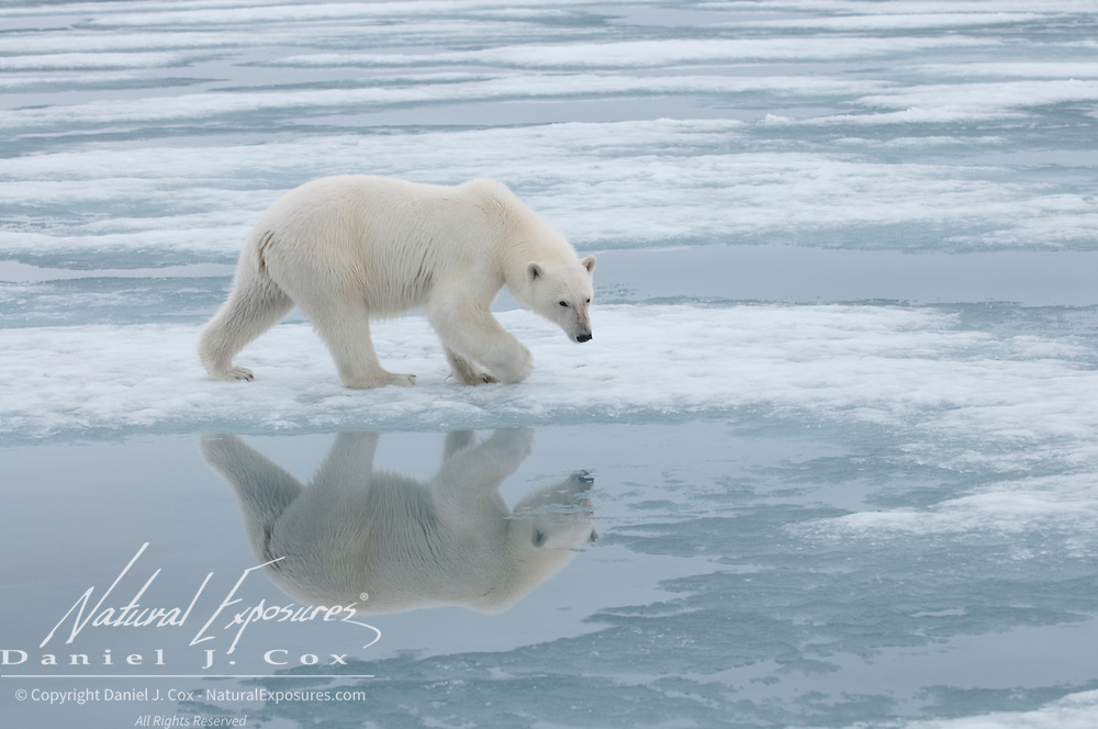 Polar bear in Svalbard, Norway.