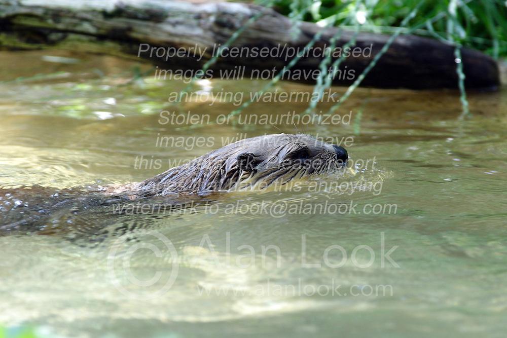 05 June 2005 <br /> <br /> <br /> <br /> Miller Park Zoo, Bloomington, Il<br /> <br /> <br /> River Otter (Photo by Alan Look)