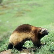 Wolverine, (Gulo gulo) In foothills of the Rocky mountains. Montana. Summer. Captive Animal.