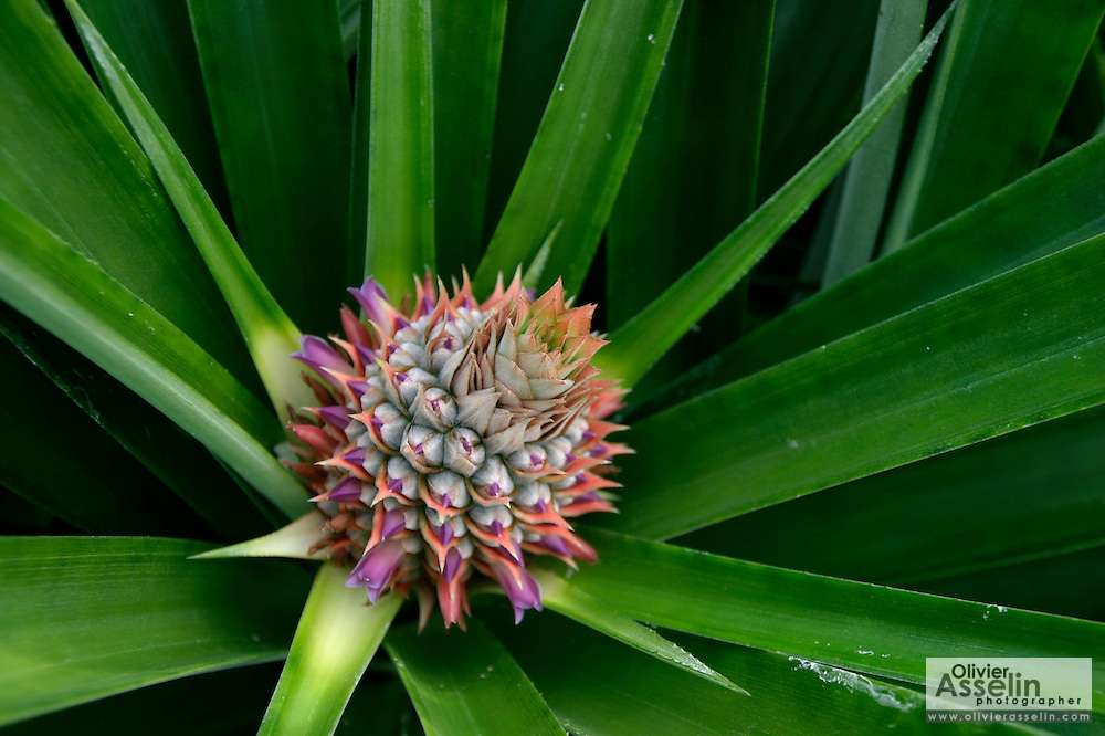 Pineapple flower on plant..