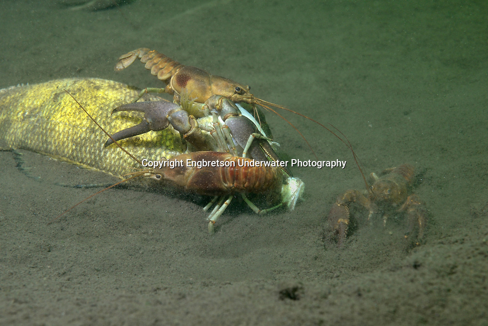 Rusty Crayfish (eating a dead yellow perch)<br />