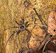 Black-Jaw Huntsman (Heteropoda tetrica, male) from Tanjung Puting National Park, Kalimantan, Borneo