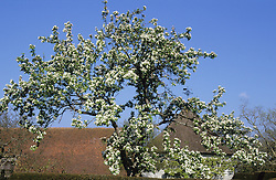 Malus 'John Downie' in blossom - Crab apples