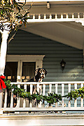Great Dane dog looks over a balcony in an old home in the historic district in St. Augustine, Florida. St Augustine is the oldest city in America.