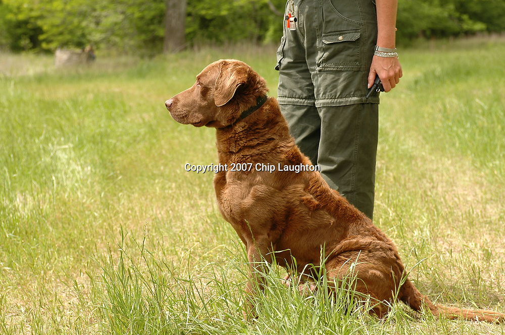 chesepeake bay retriever stock photo image