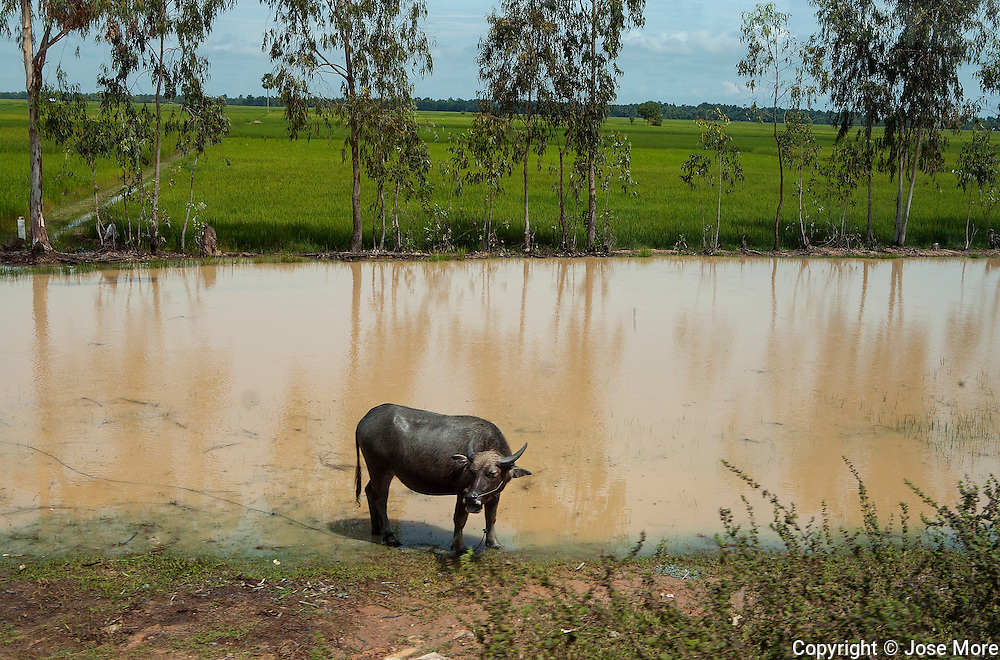 A water buffalo in rural Vietnam rice paddies. Photography by Jose More