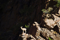 Bighorn sheep in the Grand Canyon National Park, AZ.