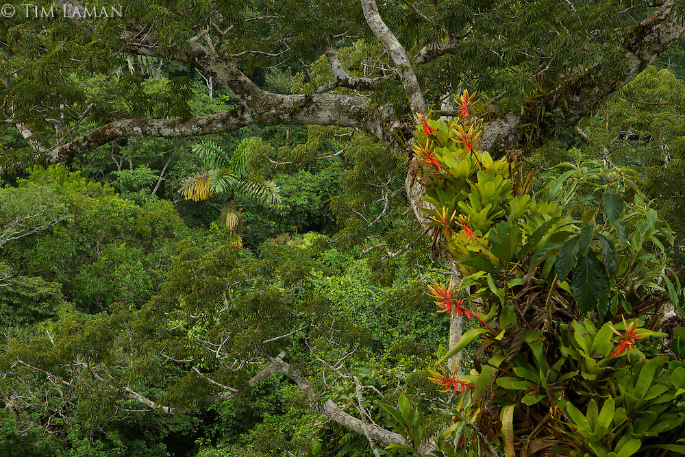 Amazon rain forest canopy view with flowering Bromeliad epiphytes growing on a branch of a giant Cieba tree.<br />