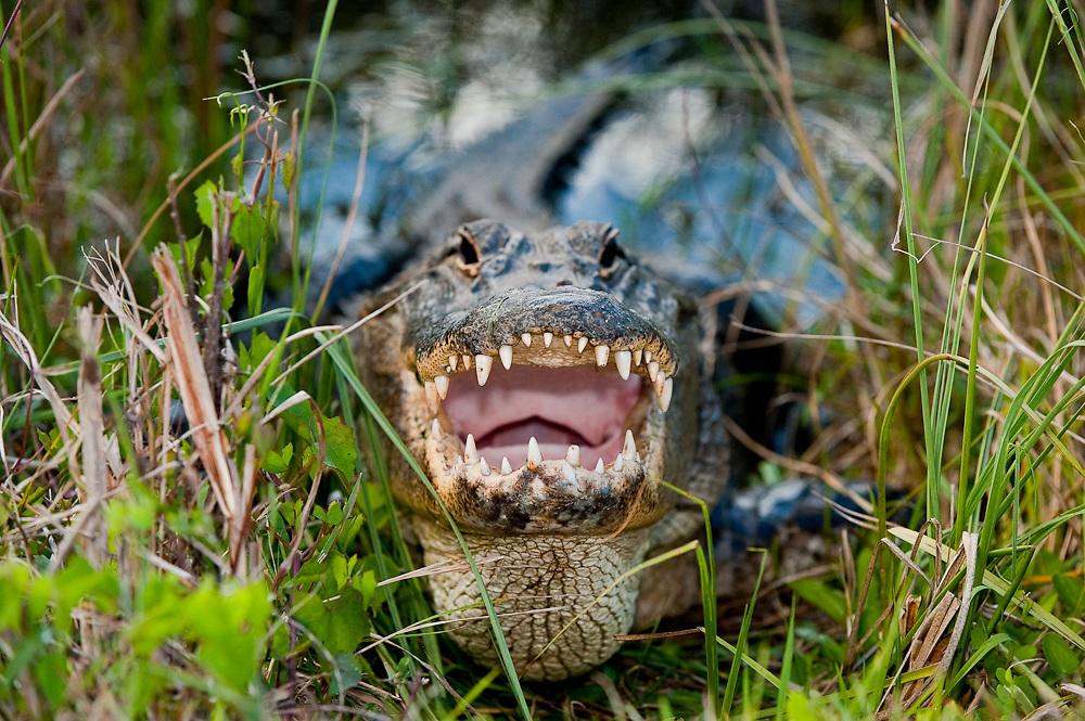 American Alligator (Alligator mississippiensis) basking in the sun in Everglades National Park, Florida.