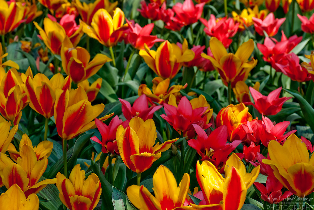 Red and yellow Tulip Garden