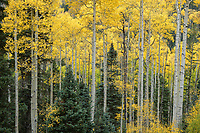 Colorful aspens and spruces in Colorado's San Juan Mountains, Colorado, USA