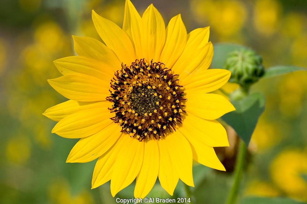 Sunflower (Helianthus annuus), Caldwell County, Texas