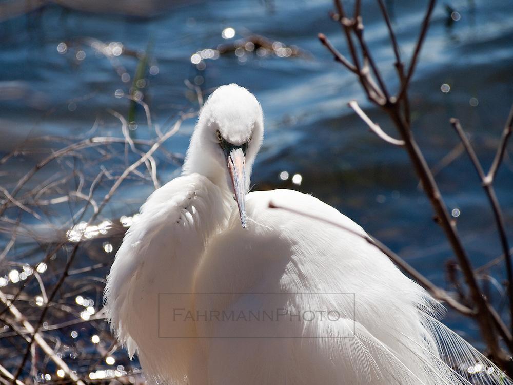 A Great Egret resting after preening on the shoreline of Lake Nokomis