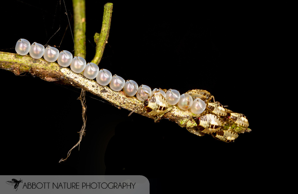 Stink Bug nymphs emerging from eggs<br /> PERU: Madre de Dios<br /> Refugio Amazonas on the Tambopata River<br /> 26-Nov-2015<br /> J.C. Abbott &amp; K.K. Abbott
