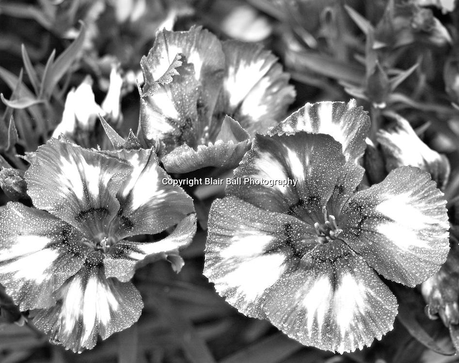 Flowers at Memphis Botanical Garden taken in Infrared.
