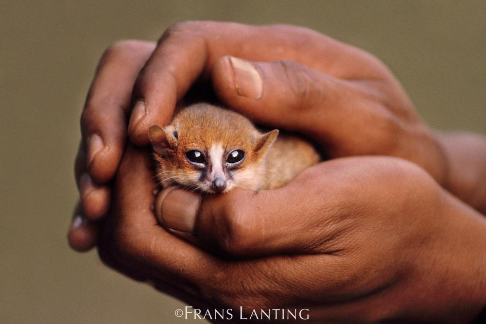 Brown mouse lemur cradled in man's hand, Microcebus rufus, Madagascar