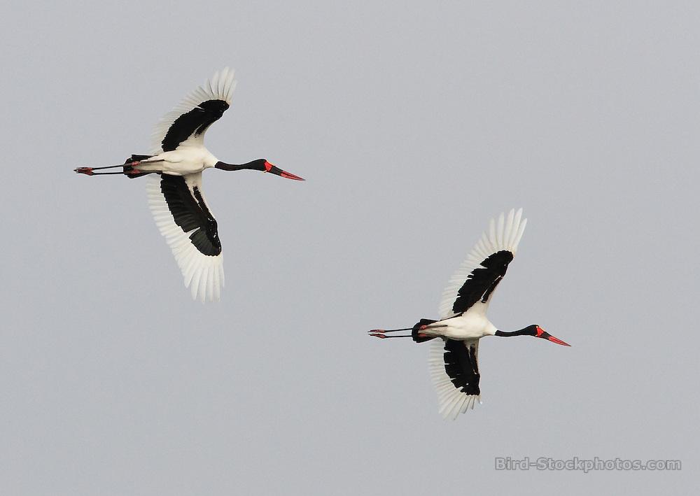Saddle-billed Stork, Ephippiorhynchus senegalensis, pair, in flight, Uganda, by Jonathan Rossouw