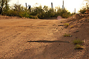 A Western Diamondback Rattlesnake, (Crotalus atrox), crosses Silverbell Road in Ironwood Forest in the Sonoran Desert, Eloy, Arizona, USA.