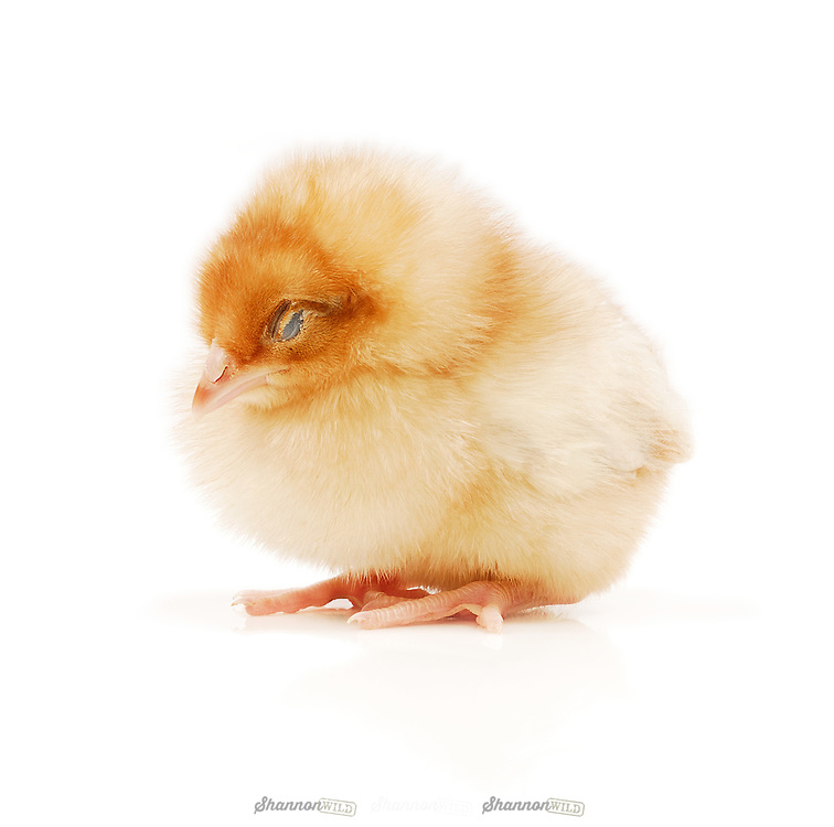 Young Chicken sleeping on white background