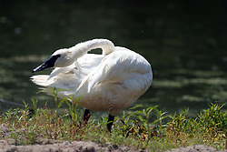 01 July 2006  A quick vacation through Iowa to Omaha.  ..black faced swan (Photo by Alan Look)