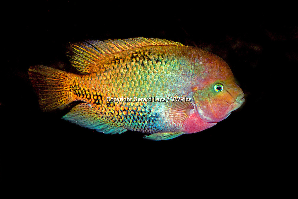 RED-HEADED CICHLID cichlasoma synspilum, ADULT