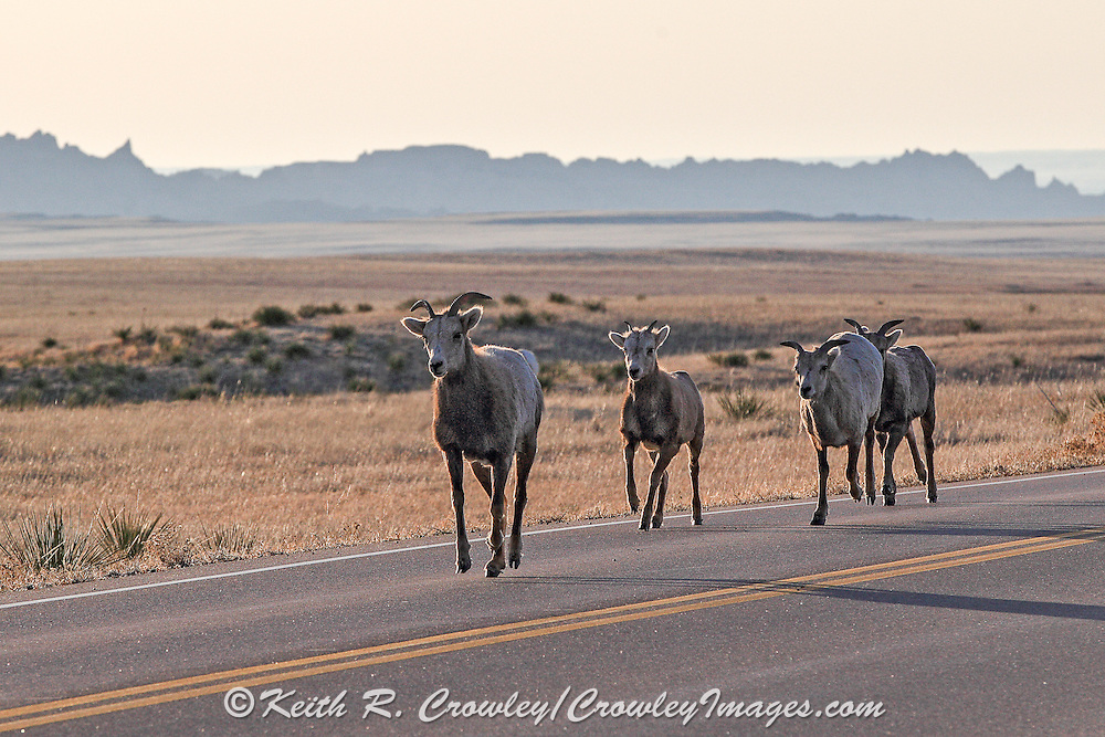 Rocky Mountain Bighorn Sheep ewes and lambs run along a paved highway in South Dakota.
