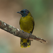 The black-headed bulbul (Pycnonotus atriceps) is a member of the bulbul family of passerine birds. It is found in forests in south-east Asia.