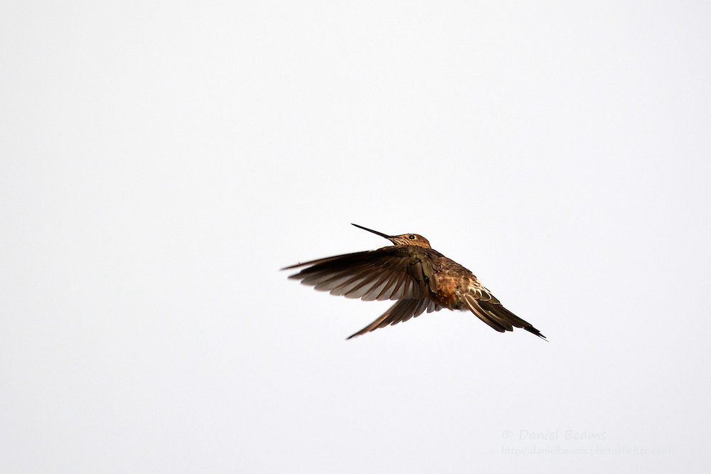 Humming bird, Copacabana, La Paz, Bolivia