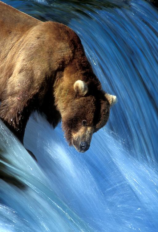 USA, Alaska, Katmai National Park, Grizzly Bear (Ursus arctos) stands atop Brooks Falls fishing for spawning salmon