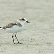 The Kentish plover (Charadrius alexandrinus) is a small wader in the plover bird family.