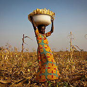 Maize Harvest in Duko Village, near Tamale, Northern Region of Ghana