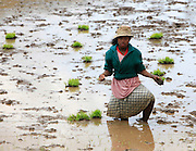 Madagascar, woman works in the Rice fields